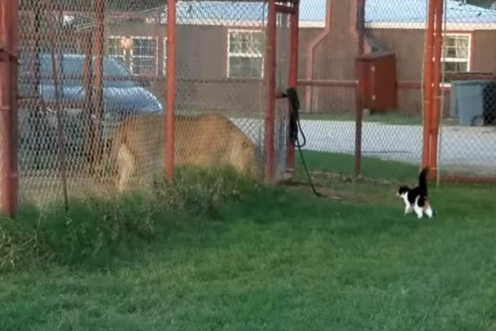 El león, para suerte del gato, se encontraba enjaulado.| Foto: Captura YouTube/BigCatDerek
