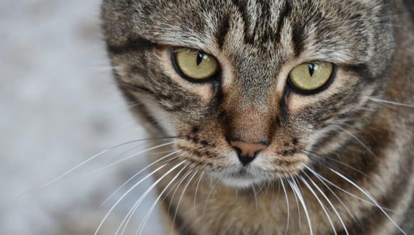 Gato 'aprende a hablar' y comienza quejarse de la música de su dueña. (Foto: Referencial / Pixabay)