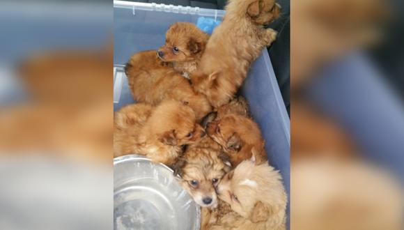 Los perritos raza pomerania fueron rescatados por un policía. Los cachorros estaban en la maletera de un vehículo.| Foto: Daily Star