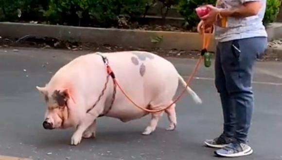 Un cerdito pasea con su dueña como si fuera un can. El video es viral en TikTok (Foto: TikTok)