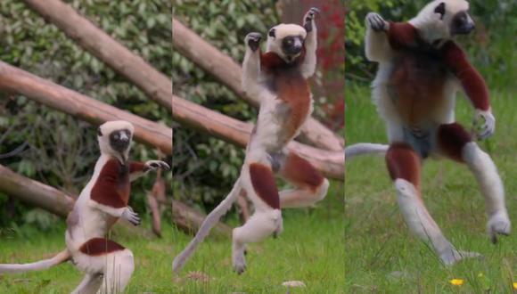Un video viral muestra la curiosa forma de bailar de un par de lémures a su llegada a un zoológico del Reino Unido.   Crédito: @chesterzoo / Instagram