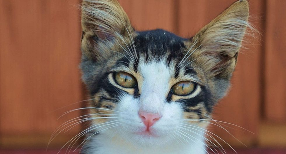 El pequeño felino demostró una increíble habilidad. (Pixabay)
