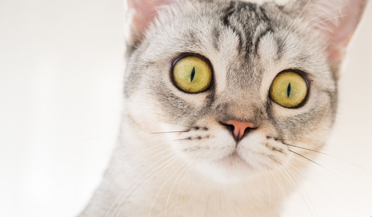gato-encara-a-un-temible-caiman-que-estaba-tocando-la-puerta-de-la-casa-de-sus-amos