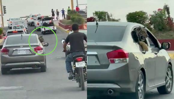 Un video viral muestra cómo un tigre de bengala paseaba tranquilamente a bordo de un auto en una zona turística de Sinaloa. | Crédito: @linea_directa / Twitter