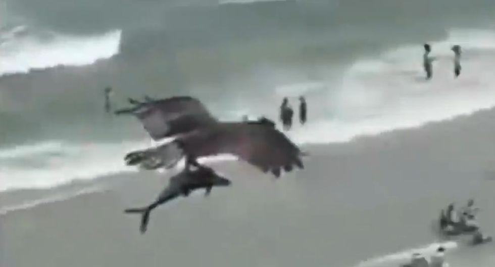 Águila es grabada capturando un tiburón del mar en Florida. (YouTube/Getty)