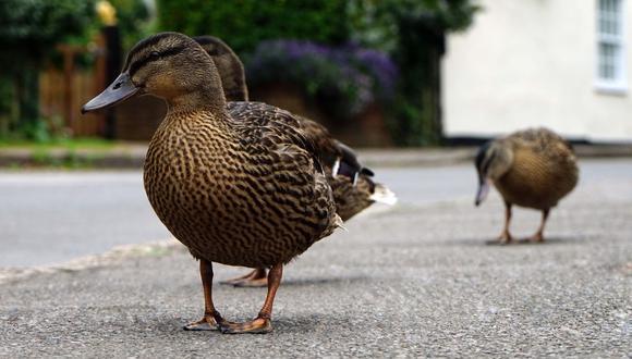 En el video difundido en YouTube, los patos aparecen caminando presurosos. (Foto referencial - Pexels)