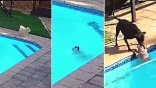 Video viral: Distraída mascota es rescatada por perro cuando estaba a punto de ahogarse