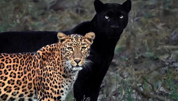 La foto de la pantera negra y un leopardo ha generado gran impacto en miles de usuarios. (Foto: mithunhphotograhy / Instagram)